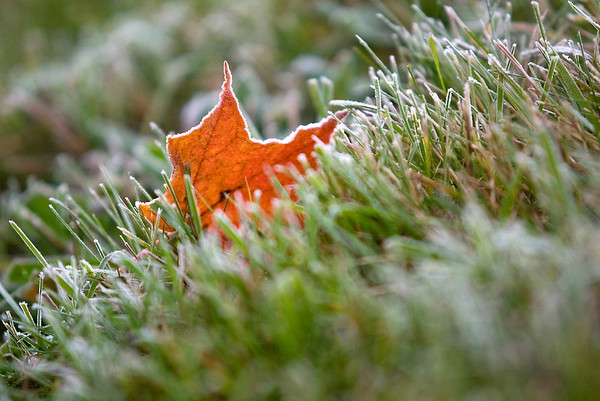 Record-Eagle/Jan-Michael Stump<br /> Frost coats grass and leaves on a chilly morning in Traverse City.