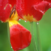 Record-Eagle/Sarah Brower<br /> Rain drips from the petals of a flower near East Grand Traverse Bay.