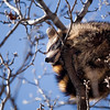 Record-Eagle/Jan-Michael Stump<br /> A raccoon sleeps in a sidewalk tree on East Front Street in downtown Traverse City.