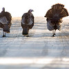 Record-Eagle/Jan-Michael Stump<br /> Turkeys hang out near Cherry Bend Road in Leelanau County.