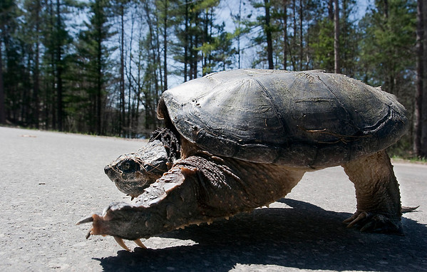 Record-Eagle/Douglas Tesner<br /> A large snapping turtle safely makes his way across Rasho Road in East Bay Township.