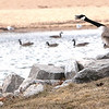 Record-Eagle/Douglas Tesner<br /> Two Canada geese sit on the breakwater in Clinch Park.