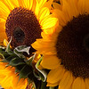 Record-Eagle/Douglas Tesner<br /> Sunflowers at the Sara Hardy Farmers Market in Traverse City.