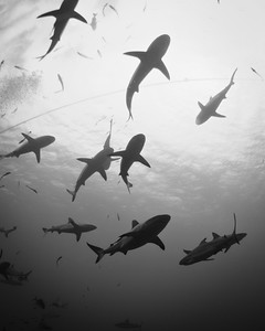 Sharks at Osprey Reef