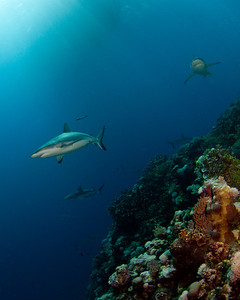 Osprey Reef Sharks