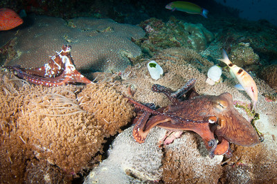 Mating Octopuses