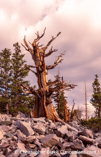 Bristlecone Pine Morning