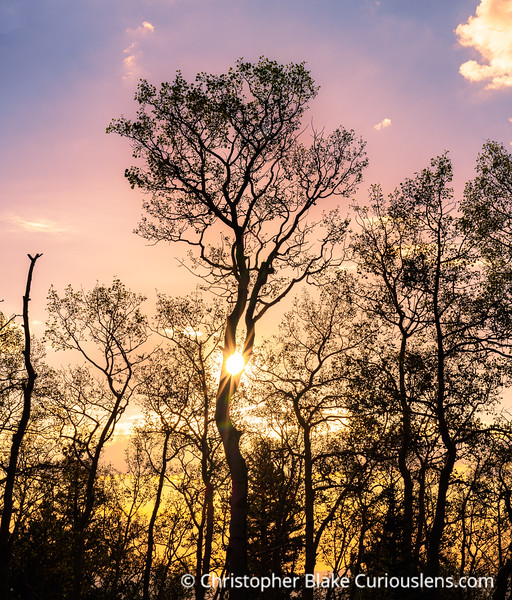Aspens at Sunrise