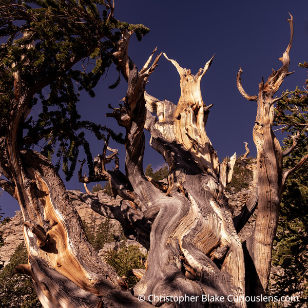 Shadows and Bristlecone Pine