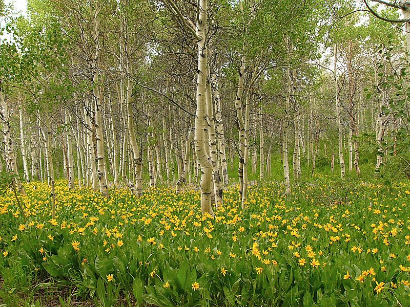 Mule's Ears and Aspen along Camp Draw Trail access road, Jarbidge Mountains, Nevada