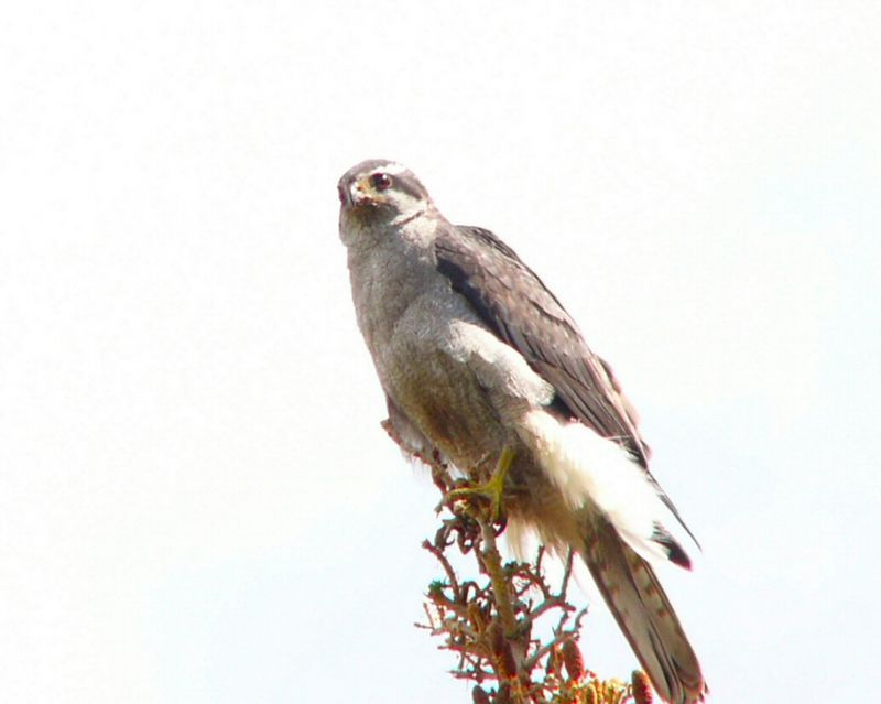 """The Northern Goshawk,  scientific name """"Accipiter Gentilis"""",  named for its nobility (gentilis) and ability to seize (accipere) its prey on the fly."""