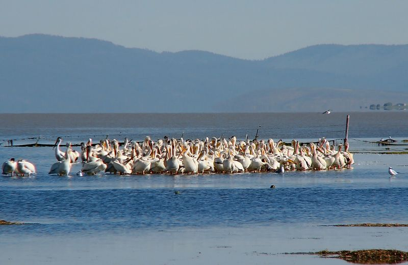 Delegates at a pelican convention, Goose Lake