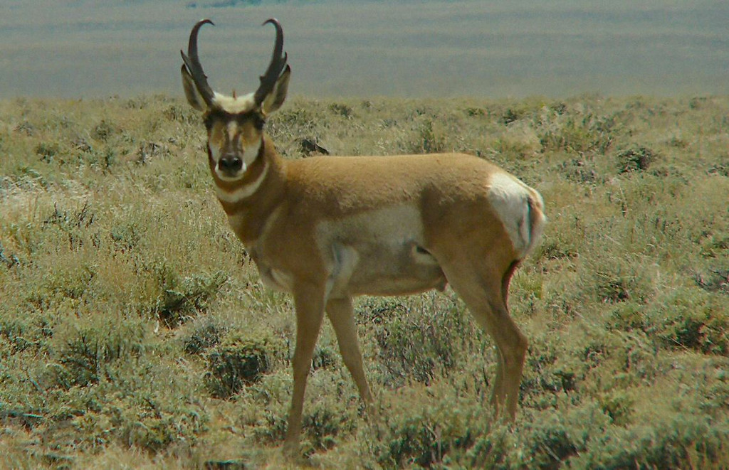A pronghorn antelope, the swiftest of North American mammals, capable of running at speeds of over 60mph.  Taken at the Hart Mountain Nat'l Antelope Refuge, SE Oregon.