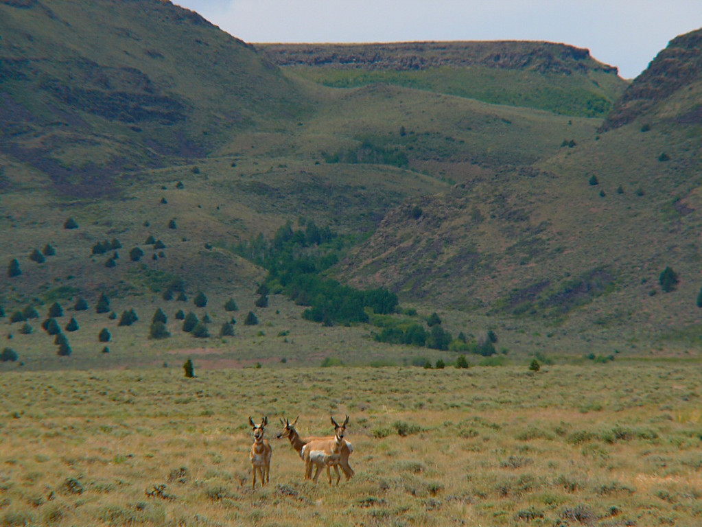 Pronghorn Antelope and Hart Mountain, southeast Oregon.