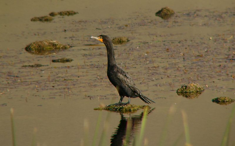 Cormorant (Double-breasted?), Ruby Lake Nat'l Refuge.