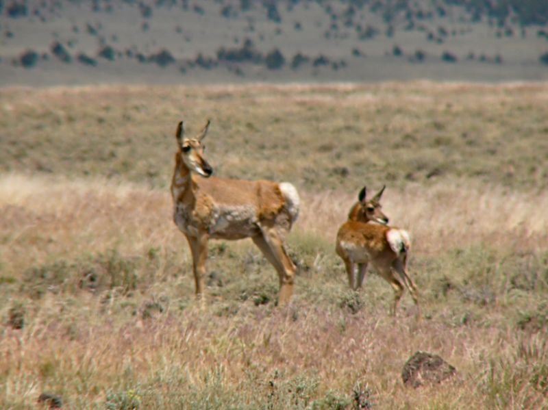 Mother and Fawn Pronghorn Antelope --- yes I know, not sharply focused..... :o)