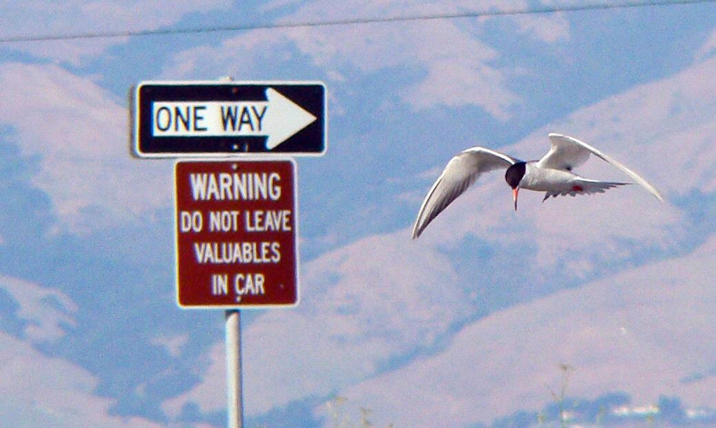 A Tern going the wrong way? Or a Tern with sticky er, fingers?  At the Baylands Nature Preserve....