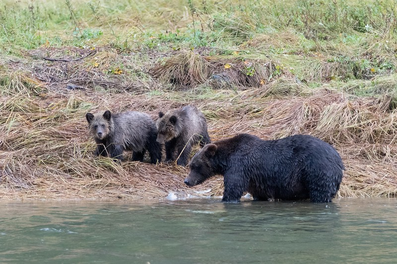 A Coastal Brown Bear sow fished while her cubs watched from the river bank.