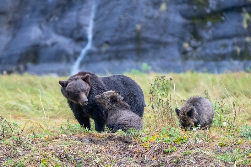 Coastal Brown Bear family in Mussel Inlet.