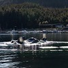 The Humpbacks then fed adjacent to the dock at Klemtu!  Dozens of locals were watching this unusual event.