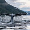Humpback Whale fluking in Scow Bay.