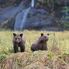 Coastal Brown Bear twins on the banks of the Mussel River.