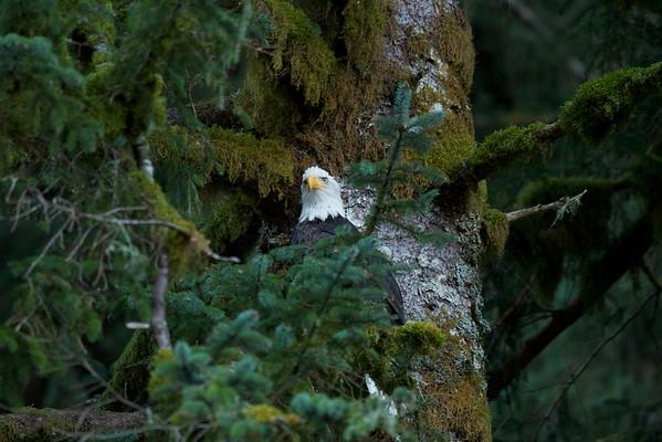 Birds of Great Bear Rainforest