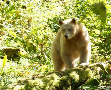 Spirit Bears (Kermode Bears)