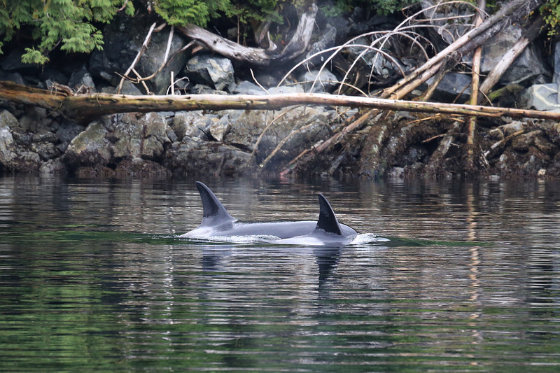 Bigg's (transient) orca in Mathieson Narrows