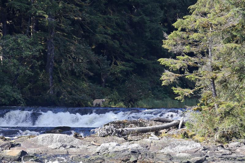 Spirit Bear on the Canoona waterfall