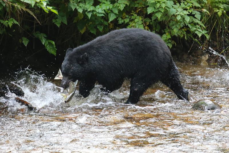 Black Bear on Gribbell Island