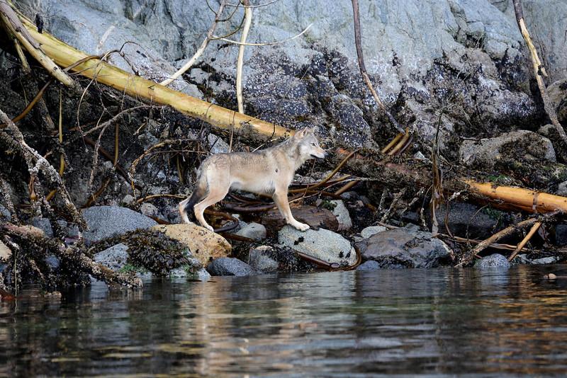 A lone male coastal wolf travelling along the coast of Princess Royal Island