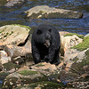 Black Bear on Gribbell Island