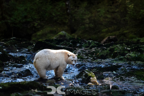 Spirit Bears and the Great Bear Rainforest