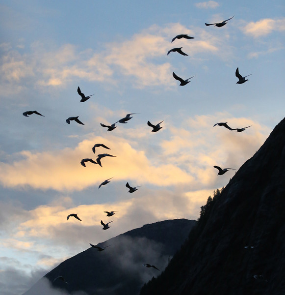 Gulls arriving in Mussel Bay at sunrise to feast on salmon eggs