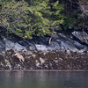 A lone male coastal wolf travelling along the coast of Princess Royal Island