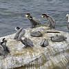Sea Birds- Lajolla Beach California