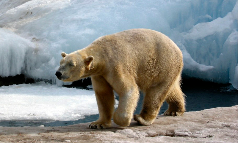 Polar Bear- Buffalo Zoo