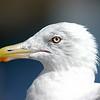 Seagull- Ogunquit Maine
