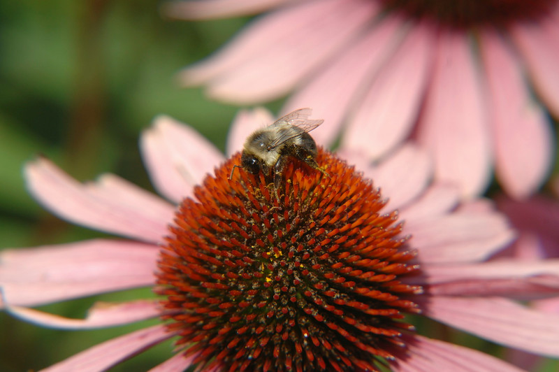 Bee and Flower- Ogunquit Maine