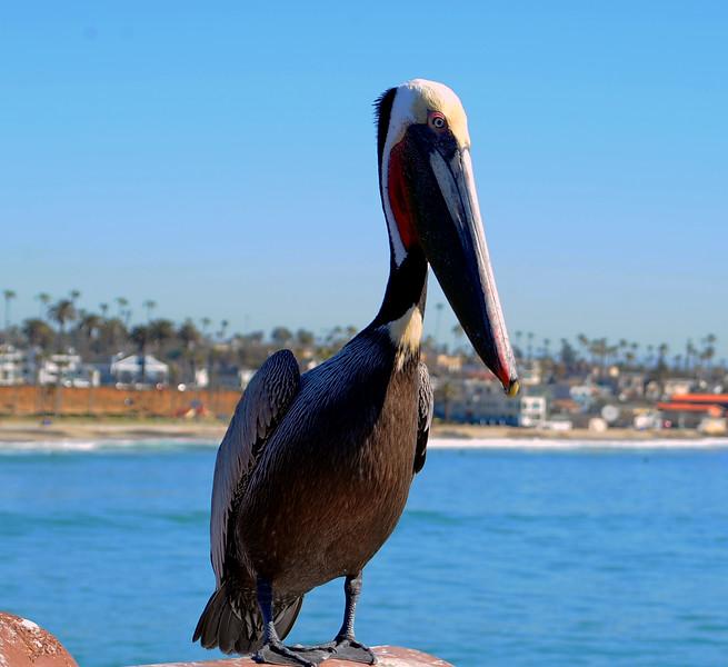 Brown Pelican- Oceanside Ca Pier