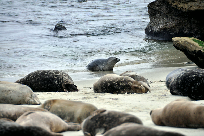 Seals- Lajolla Beach California