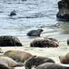 Seals- Lajolla Beach California