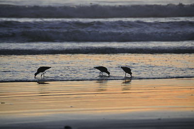 Sand Pipers At Sunset