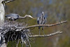 Great Blue Heron - Sturbridge, MA - May 2013