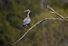 Great Blue Heron - Sturbridge, MA - May 2013