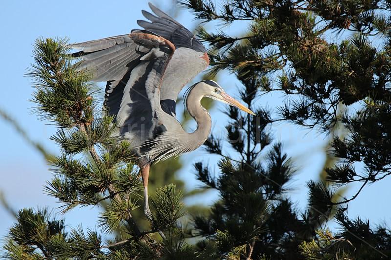 Heron's Pine
