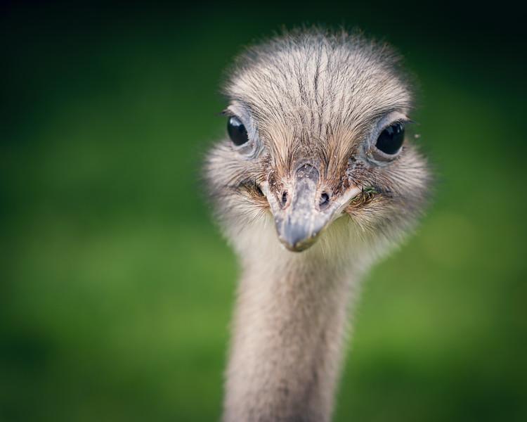 Blair Drummod Ostrich