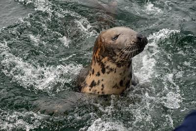 Mallaig Seal