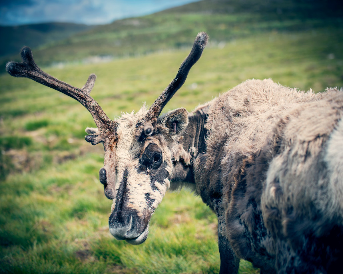 Scottish Reindeer